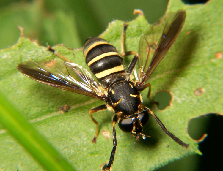 Wings Wallpaper Hd File Syrphid Fly Temnostoma Jpg Wikimedia Commons