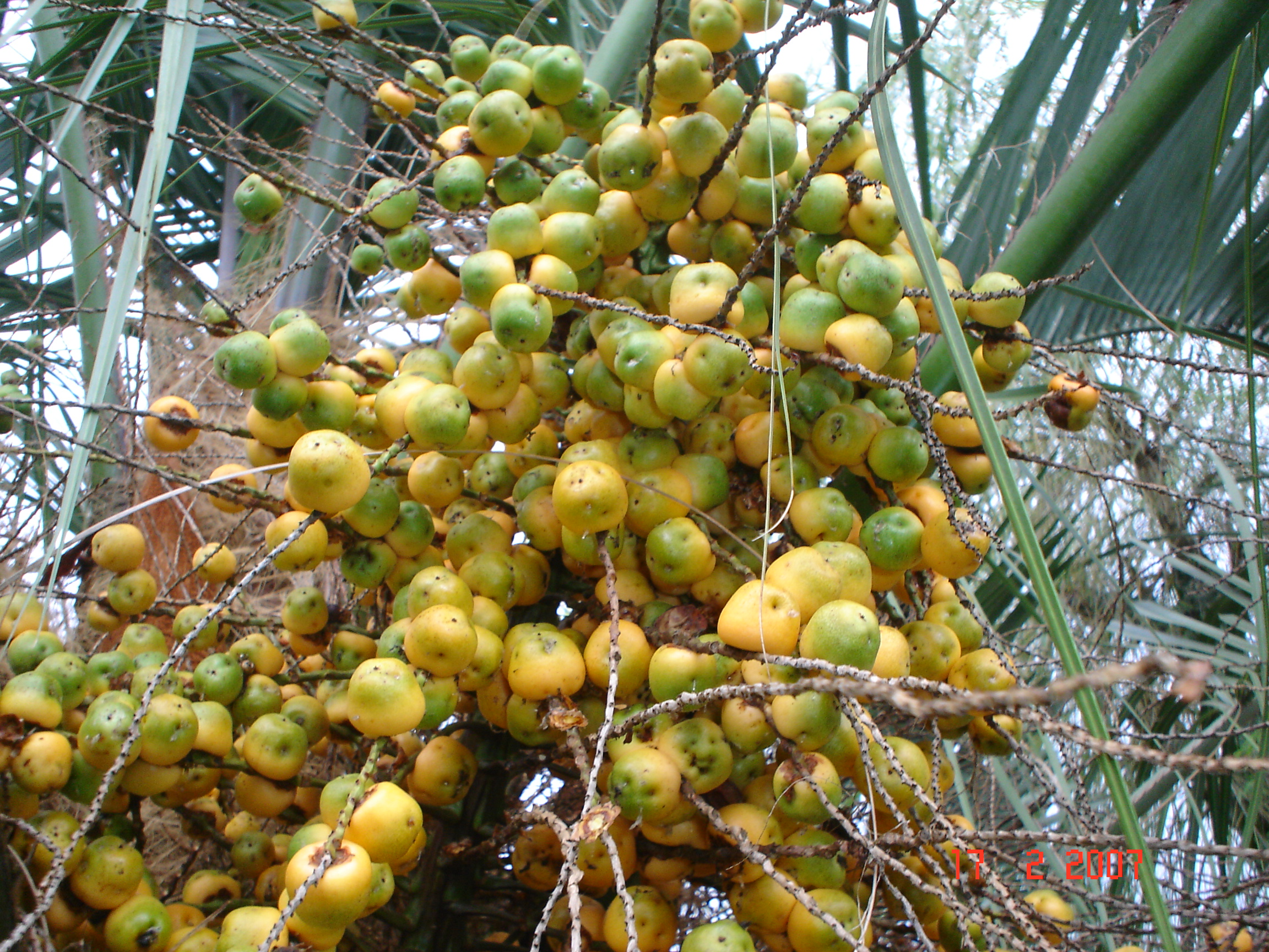 Dypsis Lutescens Wikipedia File Coquinho Sc Jpg Wikimedia Commons
