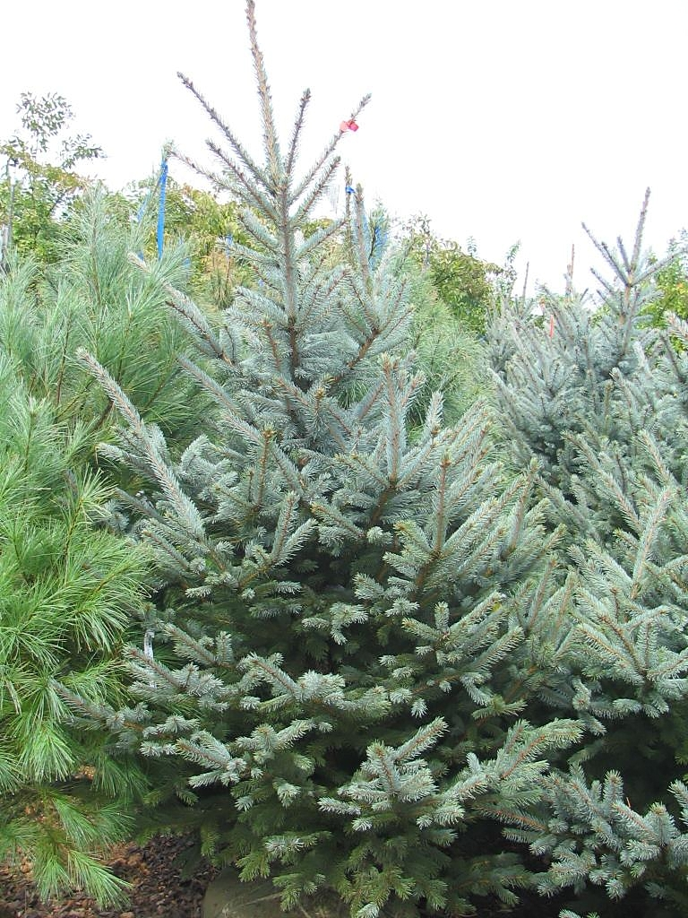 Large Of Fat Albert Spruce