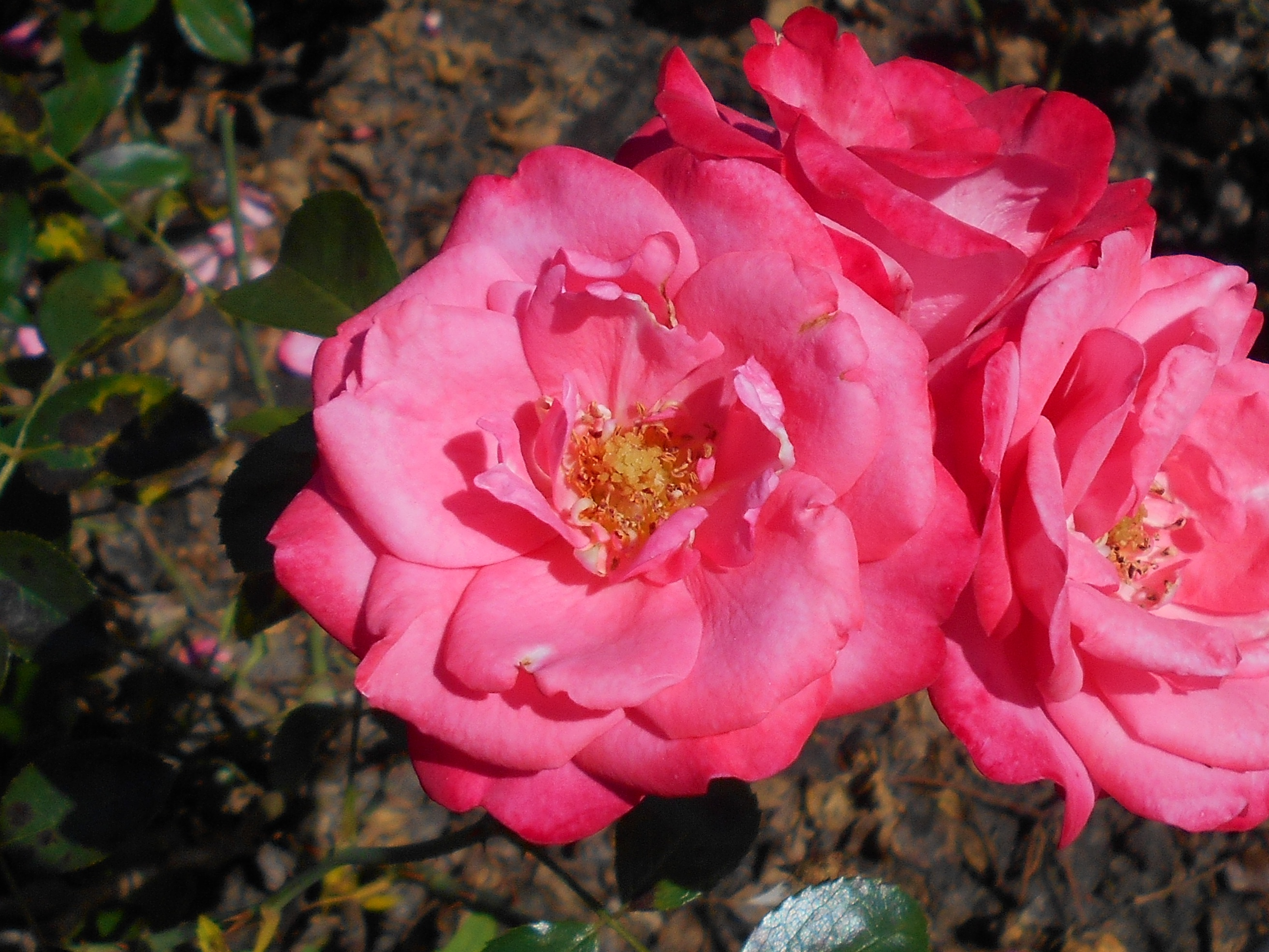 Bella Rosa File Rosa Bella Rosa 2018 07 16 6416 Jpg Wikimedia Commons