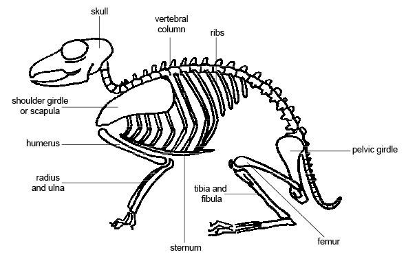 cow femur diagram