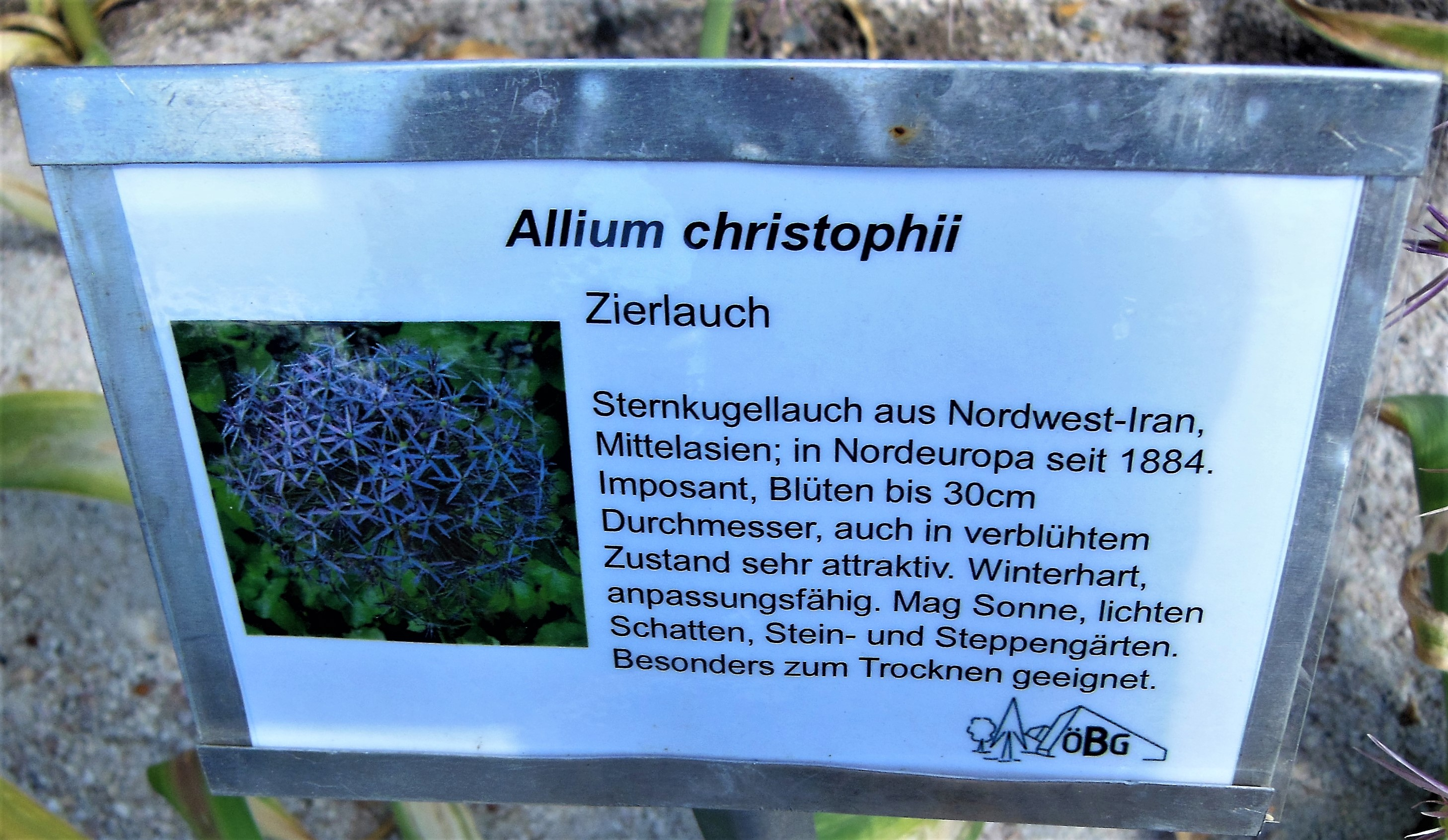 Zierlauch Trocknen File:allium Christophii Ii.jpg - Wikimedia Commons