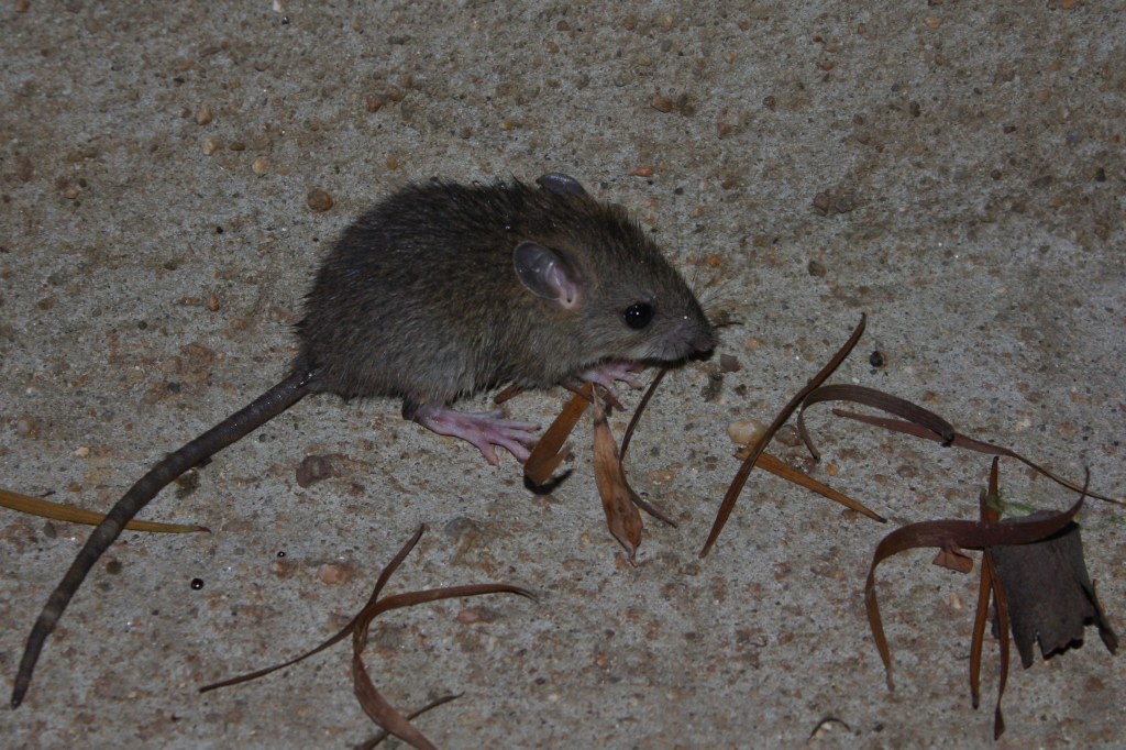 File:Asian House Rat (Rattus tanezumi) - maybe? (6105401451).jpg ...