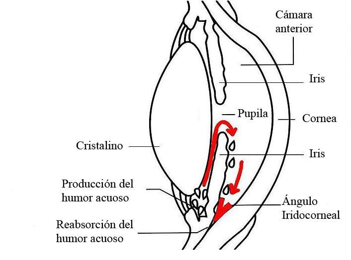 diagrama del ojo
