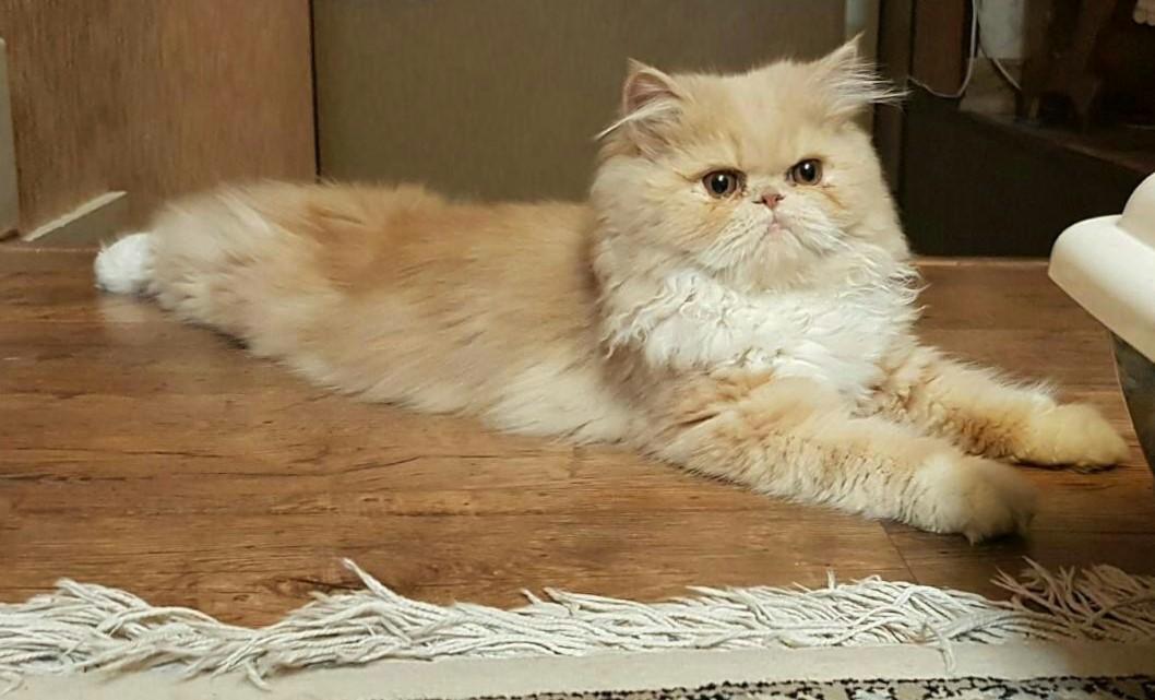 Persian cat - Wikipedia