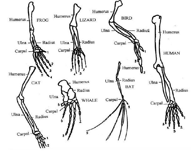 bat skeleton diagram labels
