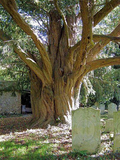 Google Wallpaper Hd File 1000 Year Old Yew Tree Walberton Geograph Org Uk