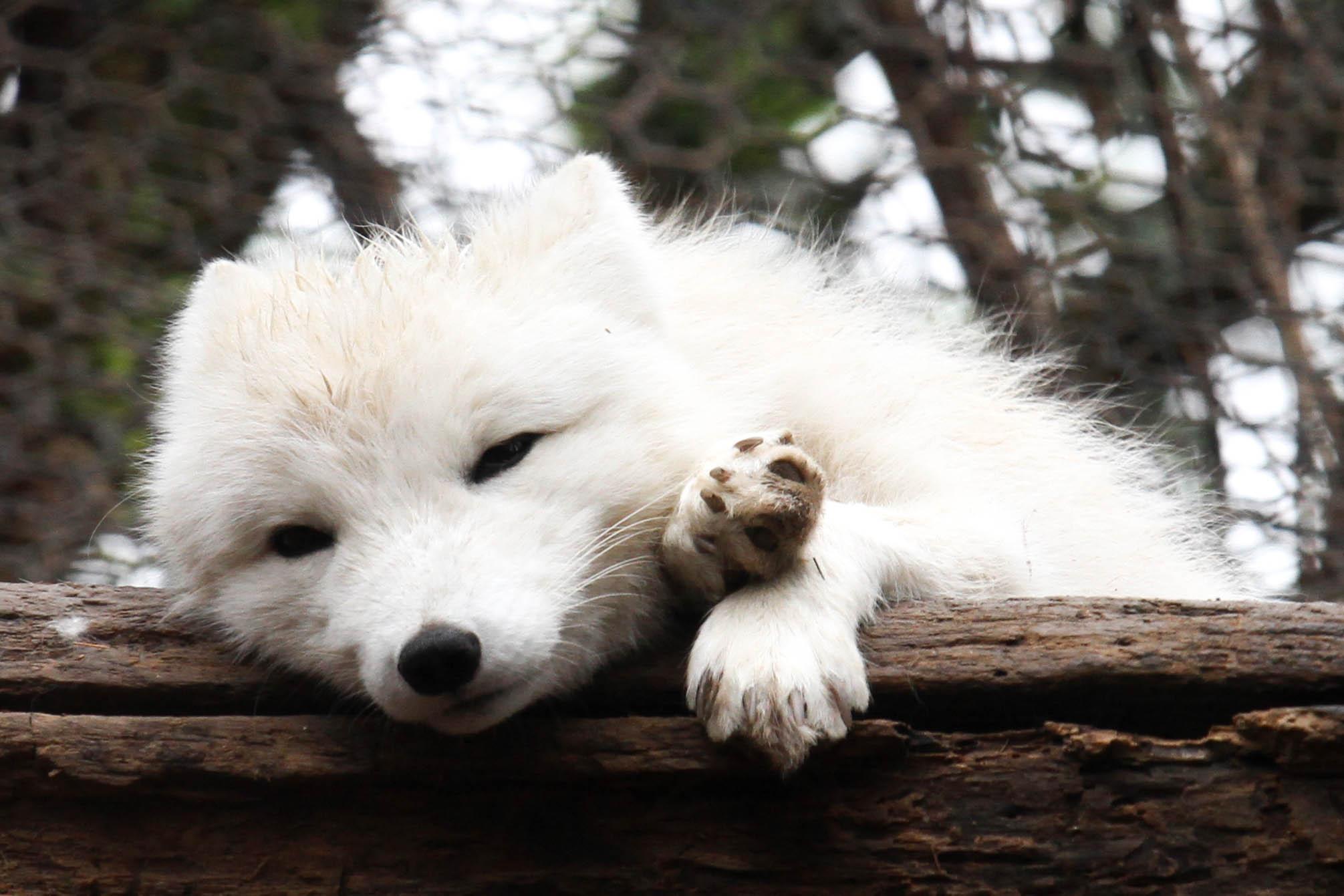 Fox Animal Wallpaper File Sleepy Arctic Fox Jpg Wikimedia Commons