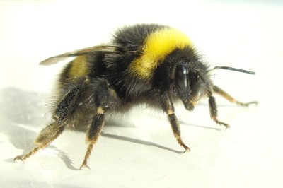 Yatton Area Bee Project - YABeeP: Bumblebee Rescue Programme