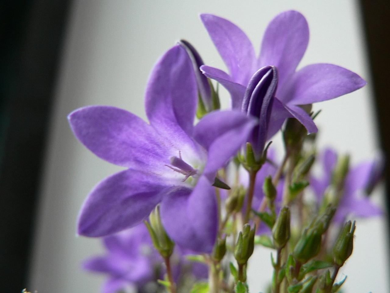 Flowers Wallpapers For Desktop Full Size Hd File Purple Flowers Close Up Photo Jpg Wikimedia Commons