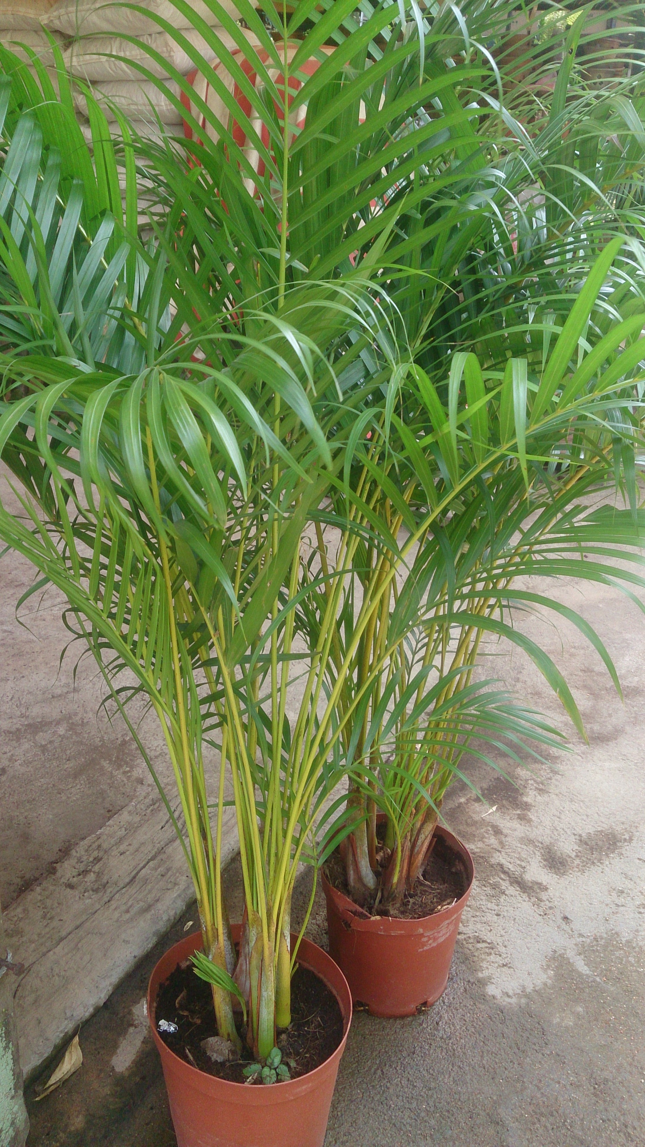 Palm Areca Top 5 Houseplants For Spring Rental Living