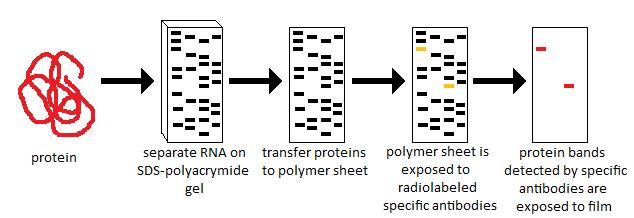 Structural Biochemistry/Proteins/Western Blotting - Wikibooks, open