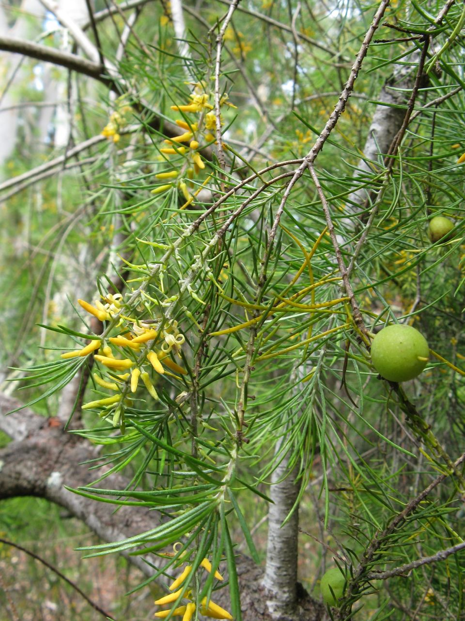 Agriculture Department Persoonia Pinifolia - Wikispecies