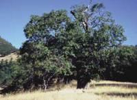 Kalifornische Schwarzeiche  Wikipedia