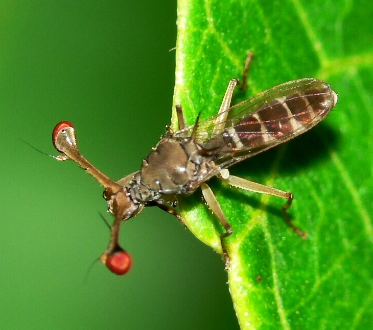 Stalk-eyed fly - Wikipedia