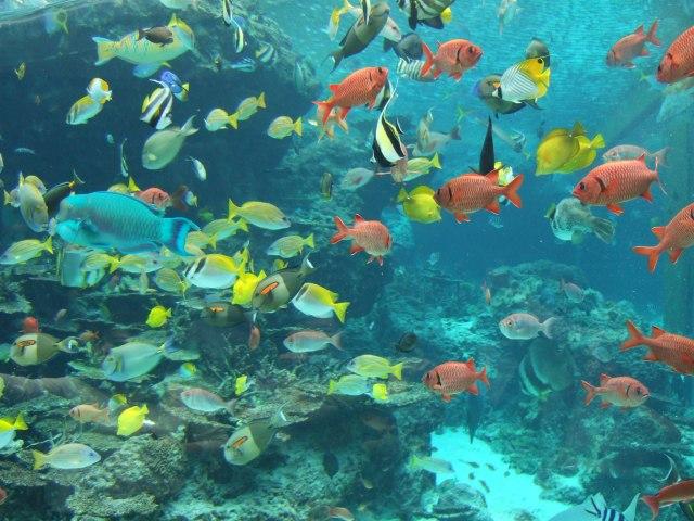 Description Fish in Okinawa Churaumi Aquarium