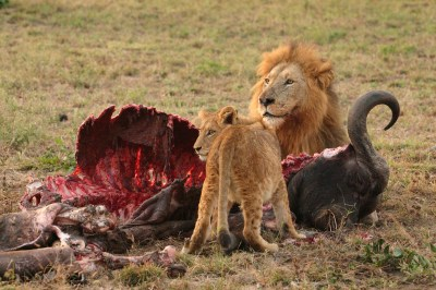 Description Male Lion and Cub Chitwa South Africa Luca Galuzzi 2004 ...