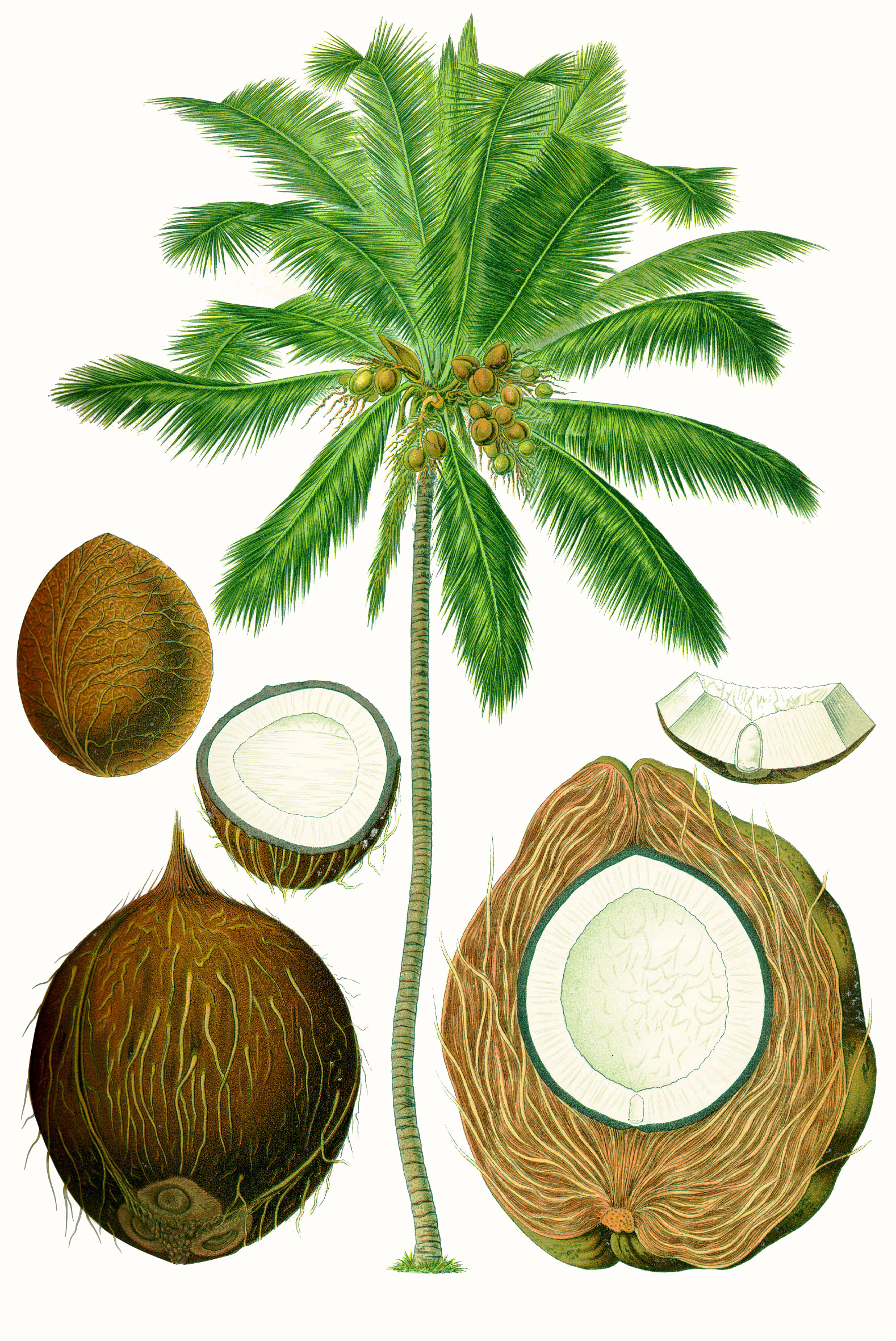 Coconut - Wikipedia