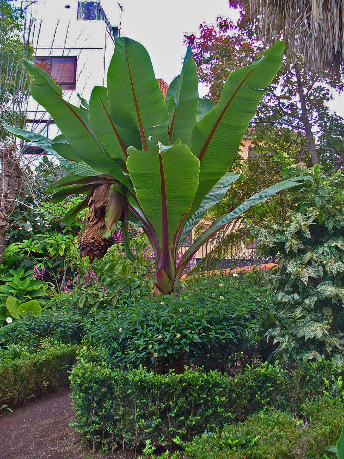 Banane Zimmerpflanze Opinions On Ensete Ventricosum