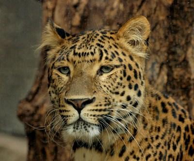 File:Panthera pardus japonensis JdP.jpg - Wikipedia