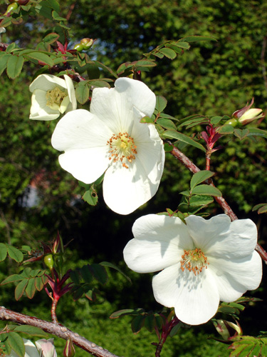 In Rosa Rosa Omeiensis - Wikipedia