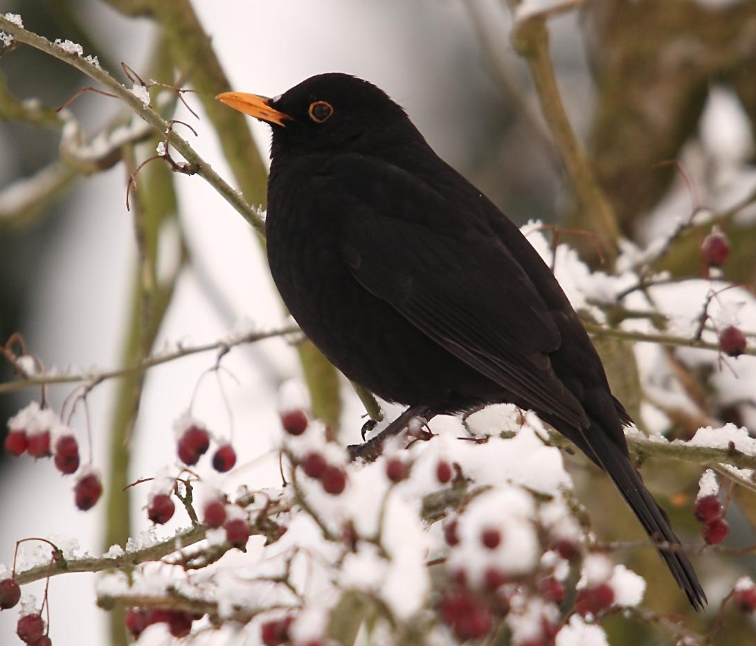 Spring Animal Wallpaper Dawn Chorus Birds Wikipedia