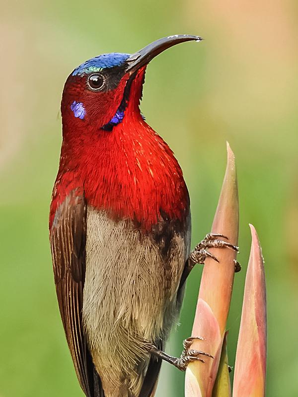 Sunbird - Wikipedia
