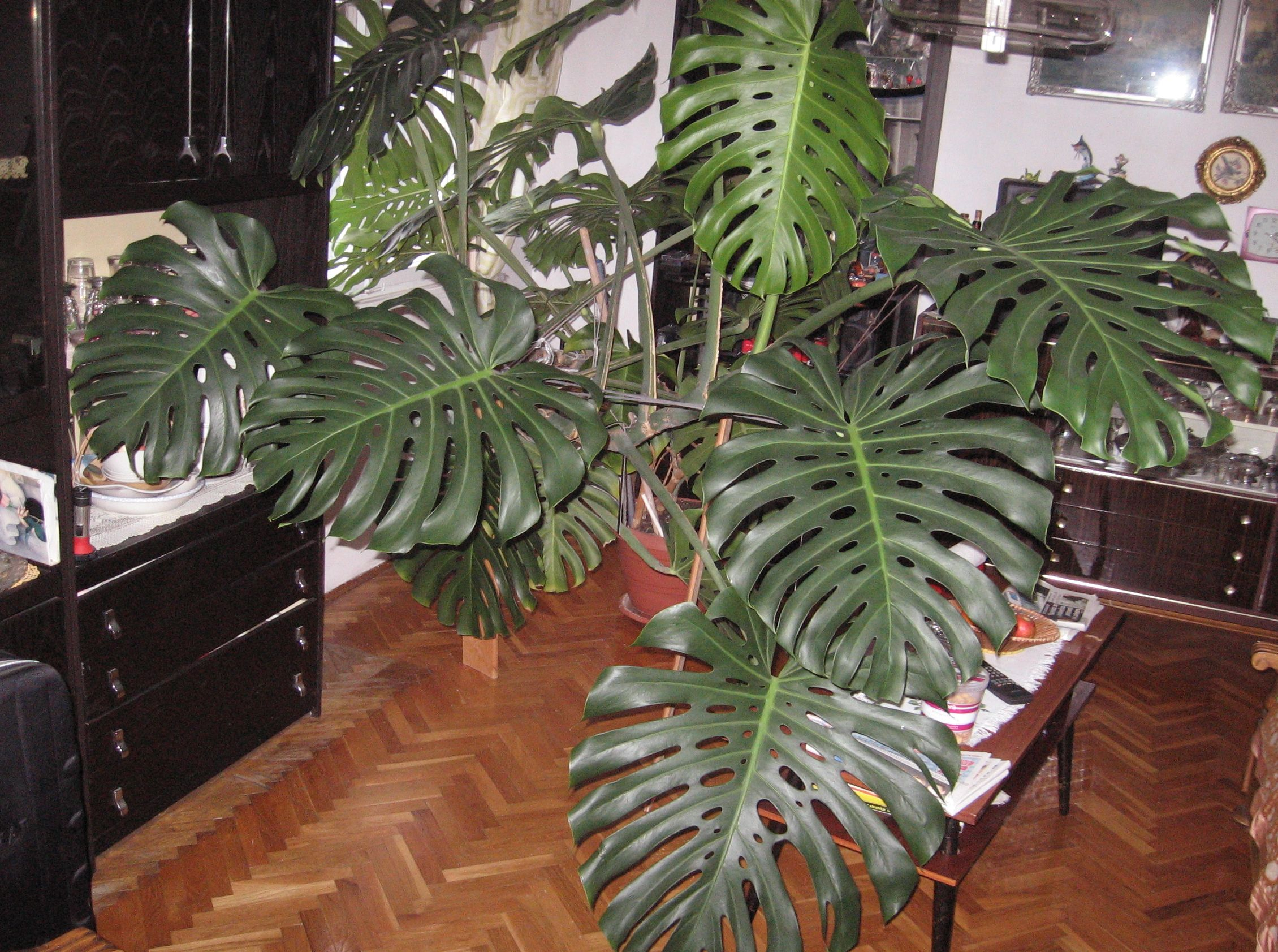 Fensterblatt Pflege The Gallery For Gt Philodendron Monstera