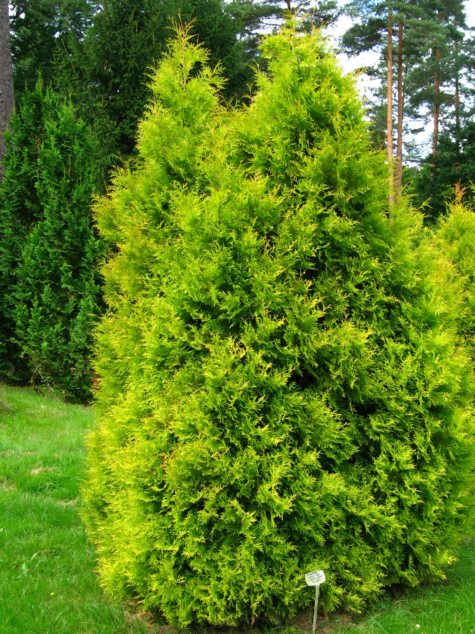 Thuja Occidentalis Types Of Thuja Occidentalis Related Keywords Types Of