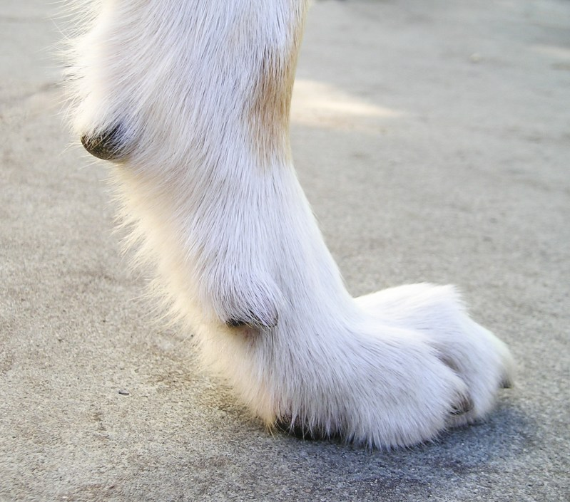 Large Of Dog Dew Claw