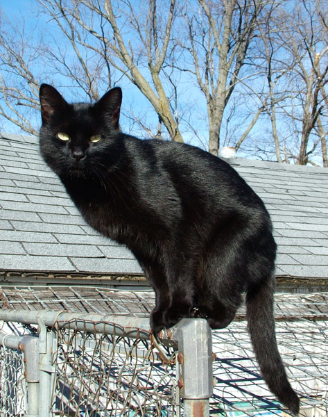 Black cat - Wikipedia