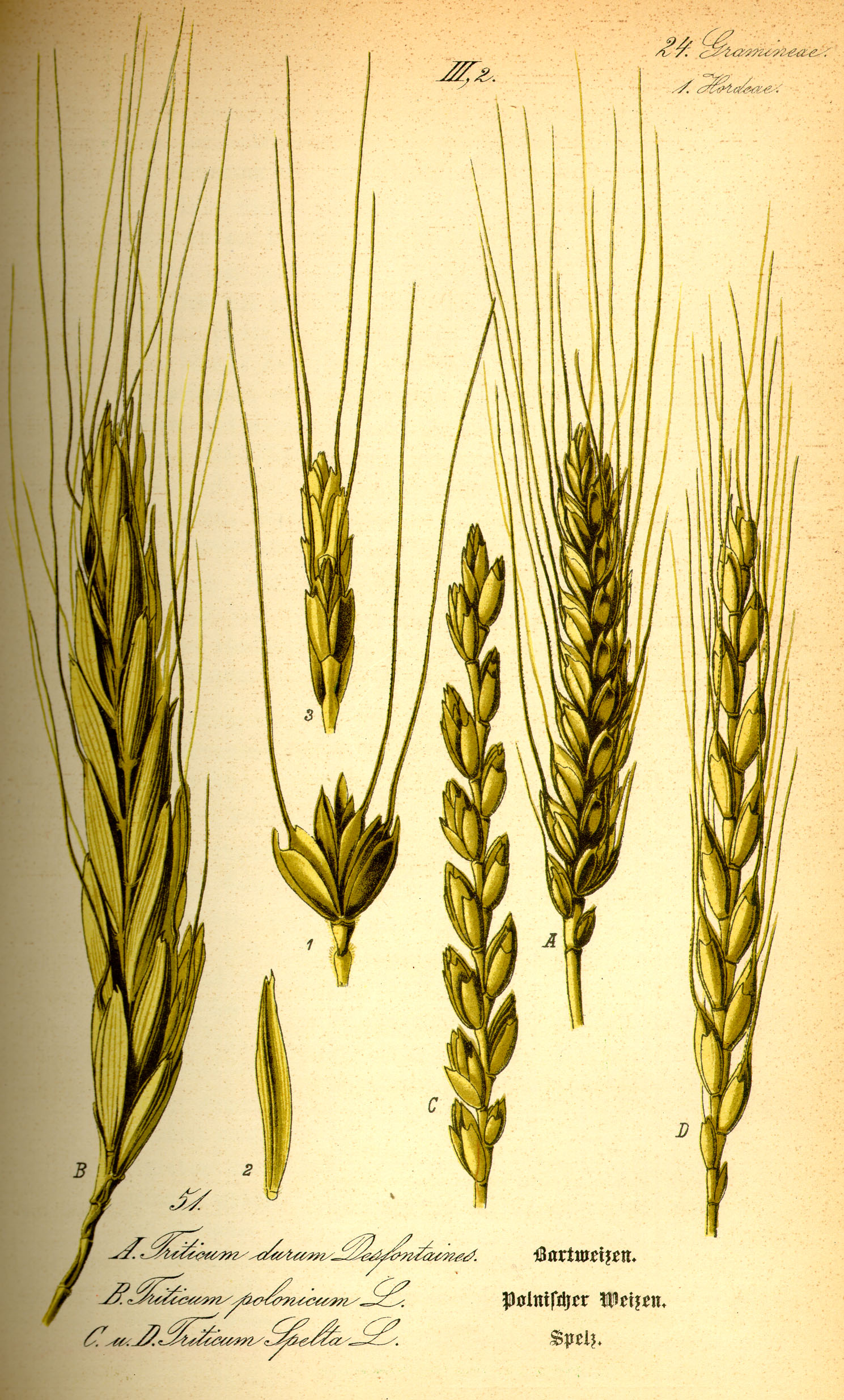 30 Liter Emmer File Illustration Triticum Spelta0 Jpg Wikimedia Commons