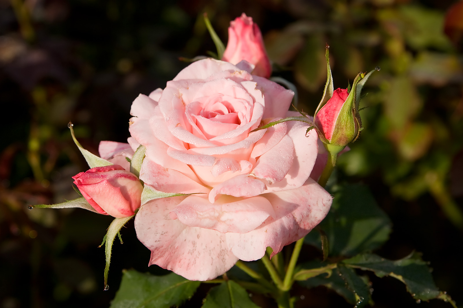 Rosa Pink Rose Simple English Wikipedia The Free Encyclopedia