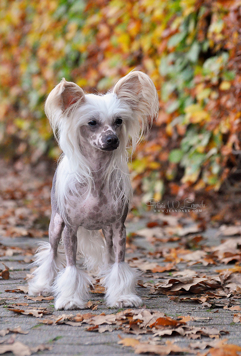 50 Cm Chinese Crested Dog – Wikipedia