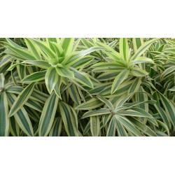 Small Crop Of Song Of India Plant