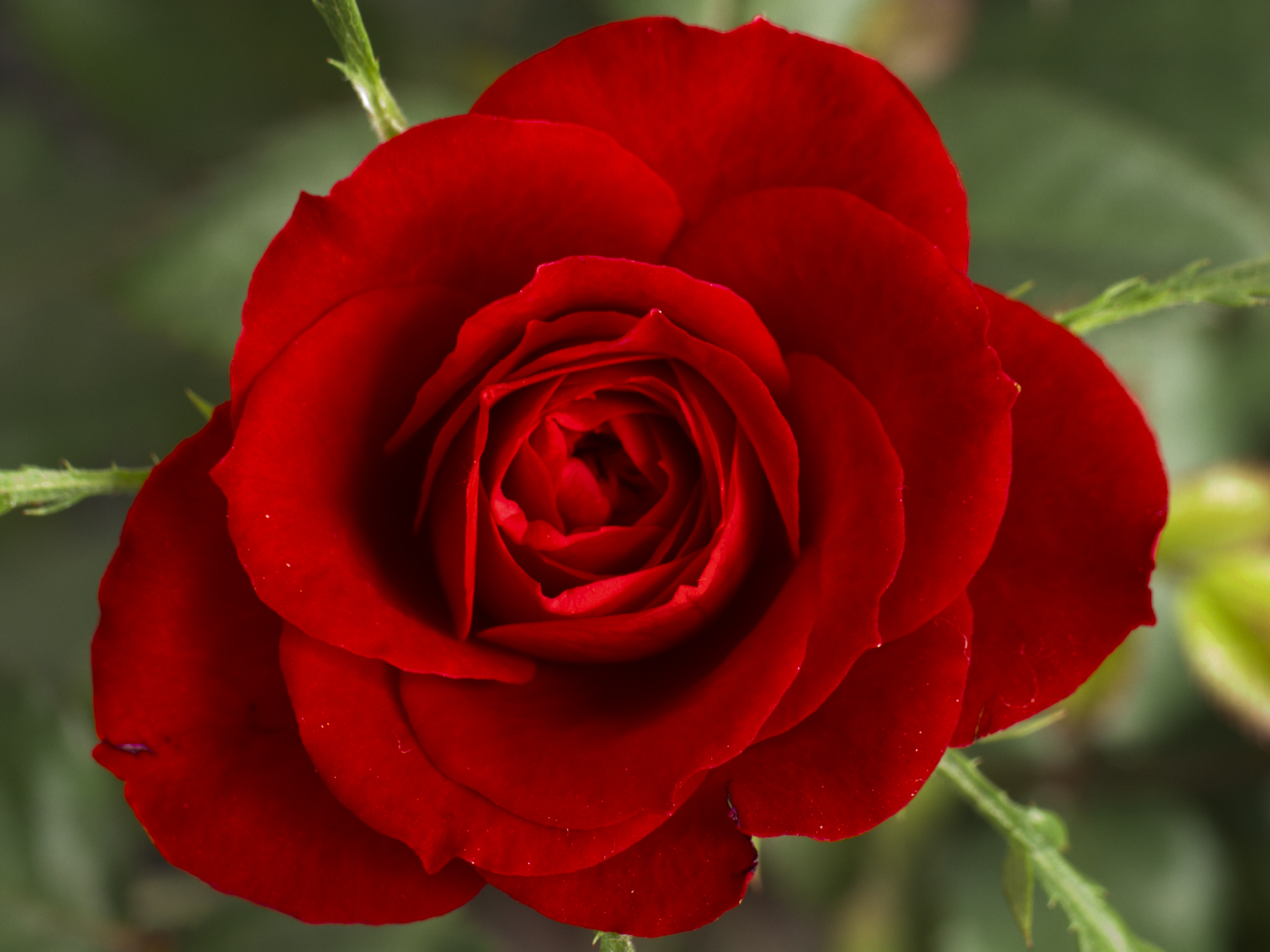 Image De Rose File Small Red Rose Jpg Wikipedia