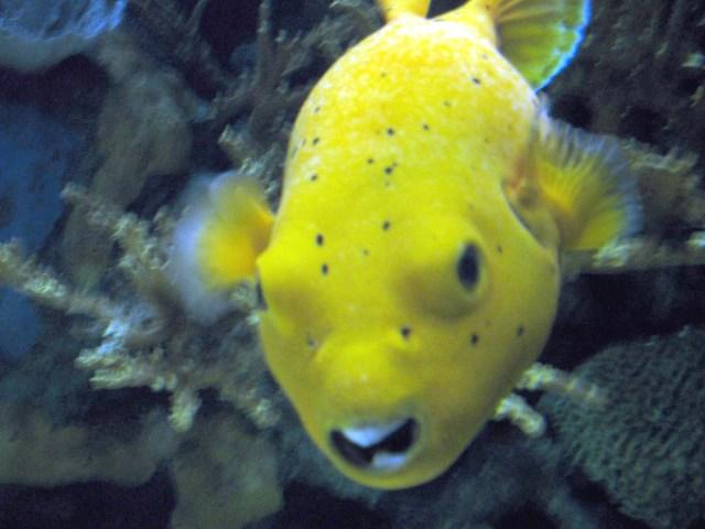 Description Yellow fish in the aquarium