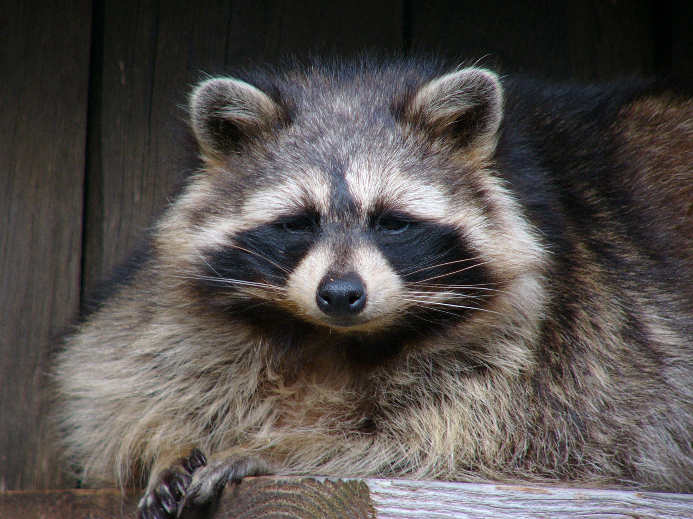 Animal Face Wallpaper Fichier Raton Laveur Zoo La Garenne Jpg Wikip 233 Dia