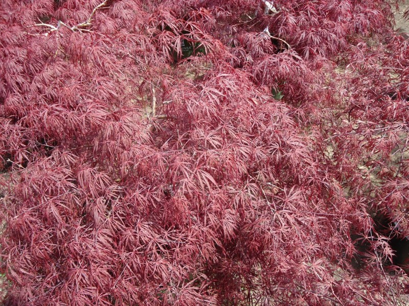 Large Of Crimson Queen Japanese Maple