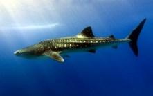 Dharavandhoo Thila - Whale Shark