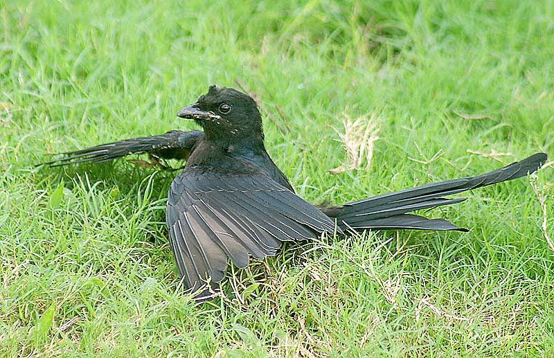 Anting (bird activity) - Wikipedia