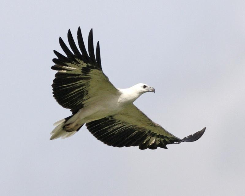 Singapore Wallpaper Hd File White Bellied Sea Eagle Haliaeetus Leucogaster Jpg