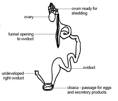 Anatomy and Physiology of Animals/Reproductive System - Wikibooks