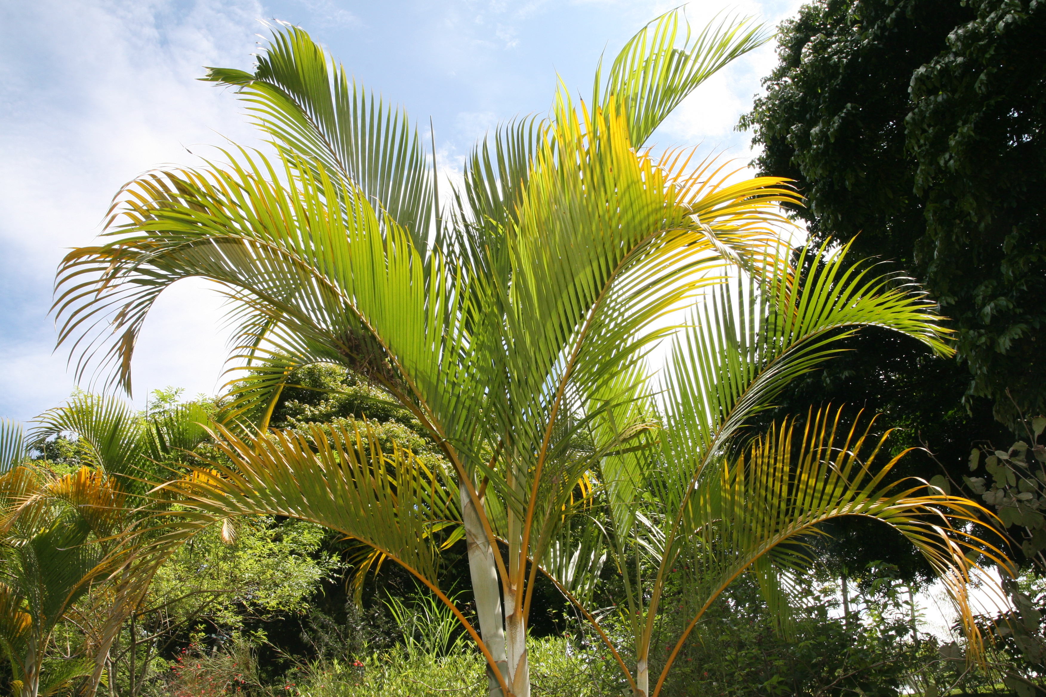 Dypsis Lutescens Wikipedia File Dypsis Lutescens 30zz Jpg Wikimedia Commons