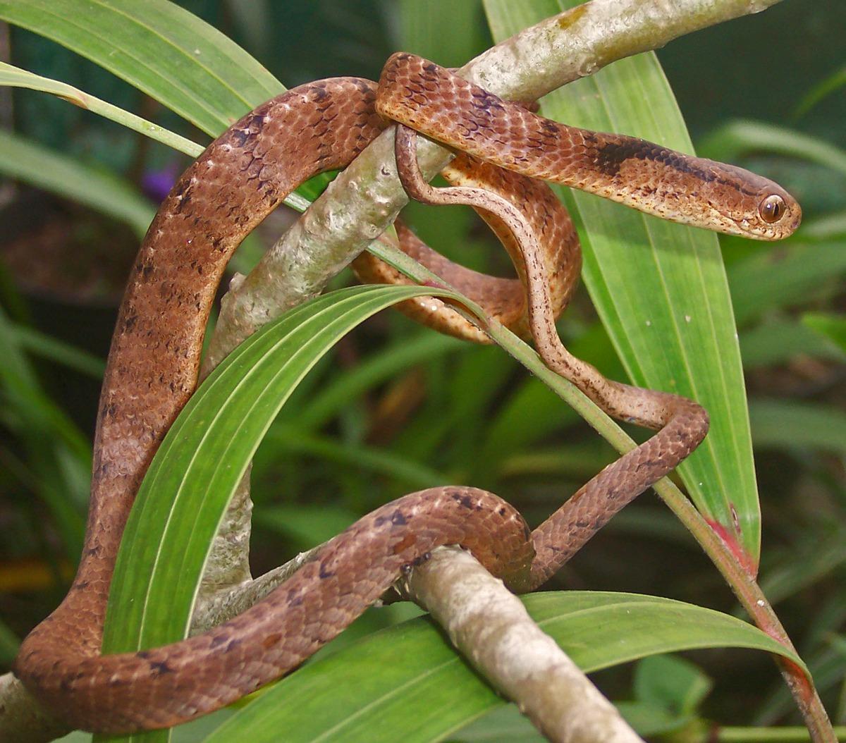 Snake 3d Live Wallpaper Pareas Carinatus Wikipedia