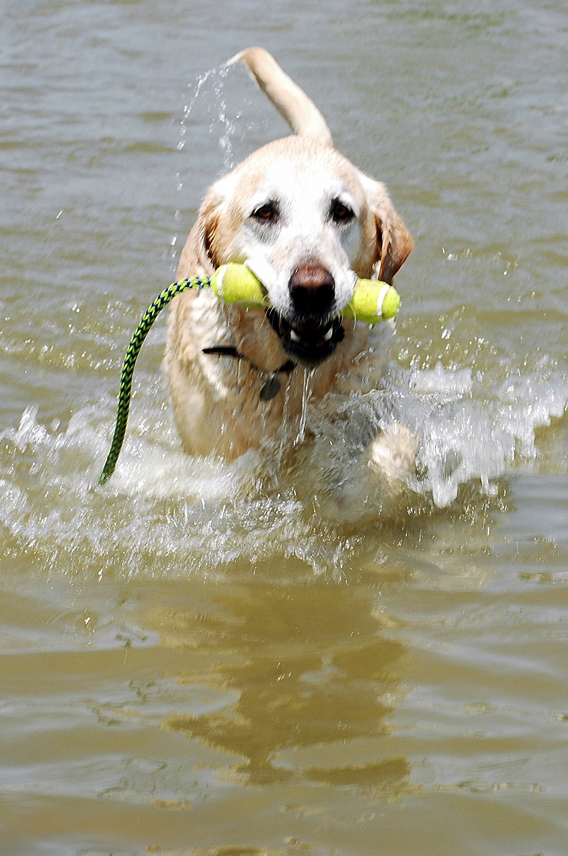 Yellow Lab Dogs For Sale File Labrador Retriever Yellow Swimming Jpg Wikimedia Commons
