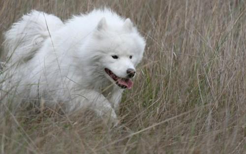 Medium Of Big Fluffy White Dog