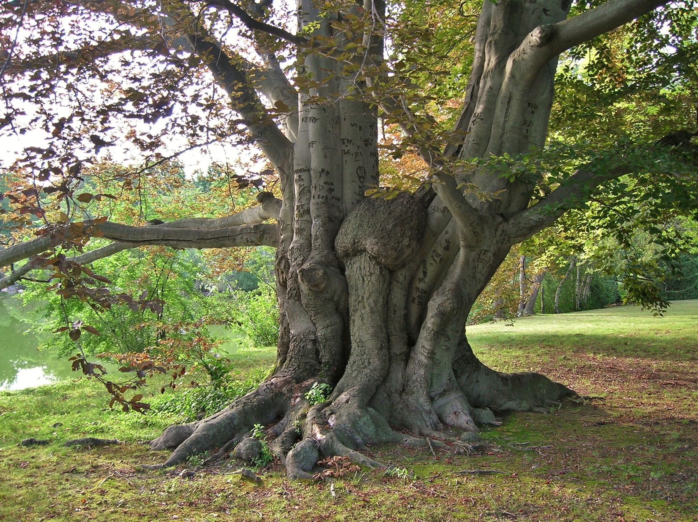Fullsize Of Copper Beech Tree