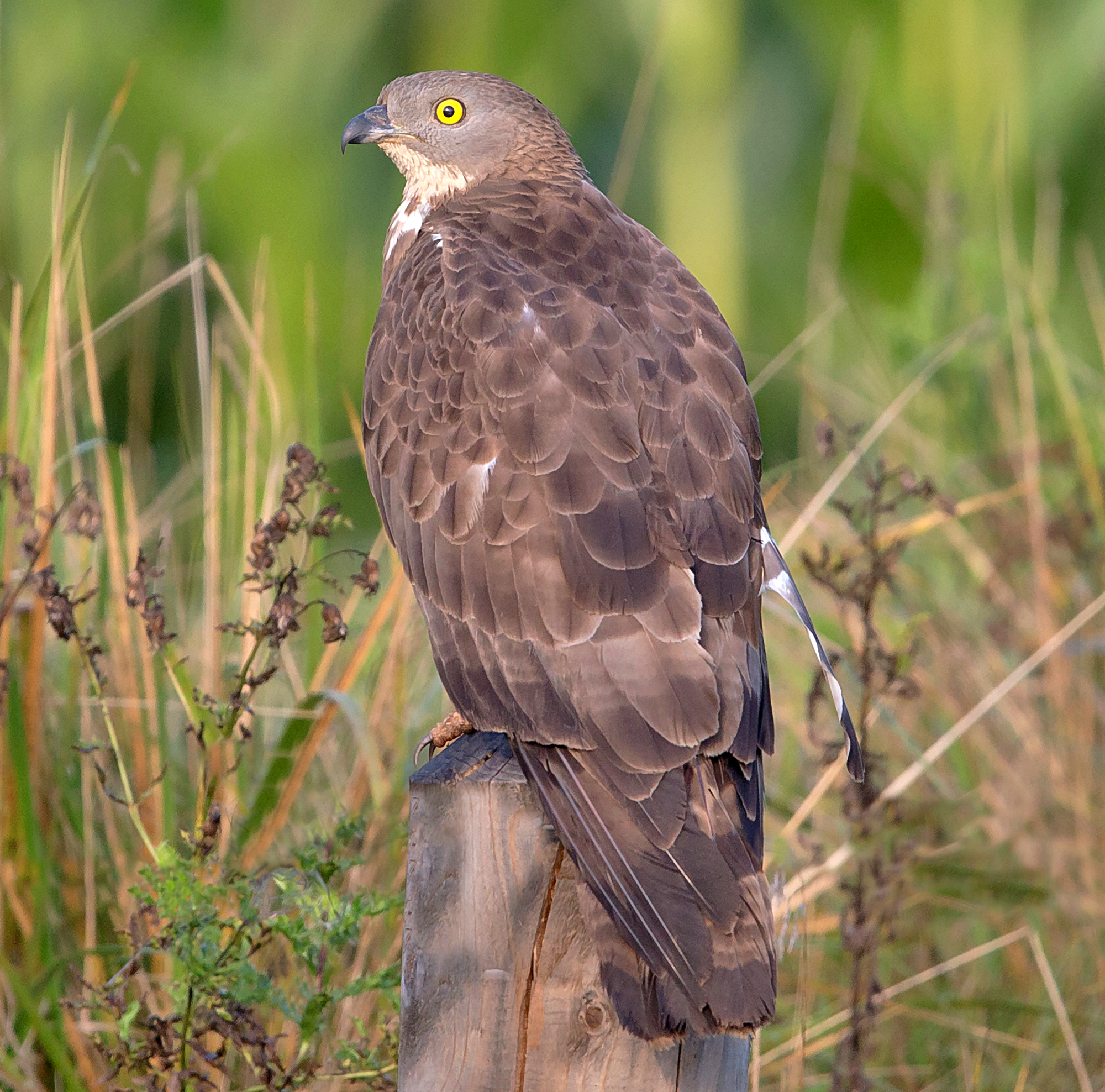 Wespennest Synonym European Honey Buzzard Wikipedia