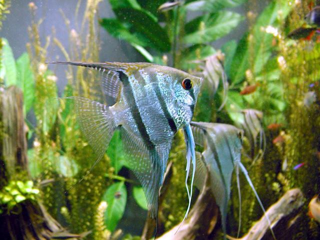 Cichlid - Wikipedia